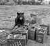 """Roscoe,"" the bear mascot of the 390th Bomb Group sits atop crates of ammunition in August 1943. Adopted by a group squadron as a cub while the unit was still in the United States in early 1943, ""Roscoe"" was later found to be a female and renamed ""Ann."" Beset by health problems later in the year, the bear had to be put down, much the anguish of the group and the local English village children who had become attached to her. (Roger Freeman Collection FRE1560)"