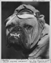 """Buddy"" the dog mascot of the 62nd Fighter Squadron poses for the camera on 10 June 1942. Walt Disney drew a squadron insignia for the unit based on ""Buddy,"" which he characterized as the ""First Flying Sergeant of the 'Fighting 62nd' Fighter Squadron."" (Roger Freeman Collection FRE2704)"