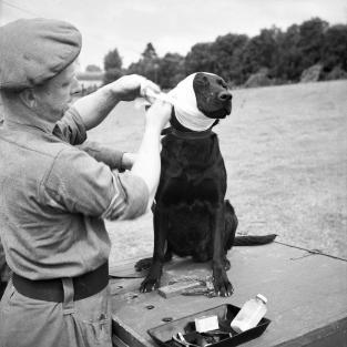 "A sergeant of the Royal Army Veterinary Corps bandages ""Jasper,"" a mine-detecting dog which was wounded in the ear by an explosion at Bayeux on 5 July 1944. While the exact number of war dogs in British army service is unclear, the Americans used 10,420 animals in service — many of whom had been ""volunteered"" by their owners. The US Army quickly set about trying to train dogs to detect non-metallic mines which were impossible to find using detectors. The training was near barbaric. Running a light electrical current through buried objects which would shock the animal if it were to come in contact with them, the Americans believed that this would teach the dogs to fear buried objects. It instead introduced neurosis into the animals and in 1944, the training program was scrapped. The British approach was better. Animals which sniffed out buried objects were rewarded with treats. Sixty-four dogs served with the British 21st Army Group as mine-detectors in Western Europe. ""Jasper's"" final fate, however, is unknown."